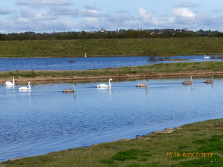 Mute swans & cygnets
