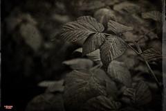 Scenes From My Backyard (MBates Foto) Tags: availablelight blackandwhite existinglight garden monochrome nikkorlense nikon nikond810 outdoors plants spokane wasshington unitedstates 99203