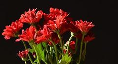 DSC_0880. Red and green on black. (angelo appoloni) Tags: fiori mazzo rosso luce diretta del sole sfondo nero natura morta flowers bouquet red direct sunlight black background still life