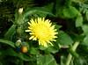 Gänsedistel (Maritime Fotografie) Tags: sommerblume wiesenblume wildblume flora biotop blume flower martin tolle nature natur wiese makro pflanze norddeutschland germany garten gänsedisteln sonchus gänsedistel