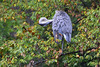 CAN YOU DO THIS ? (Bill Vrtar Photo) Tags: millcreekpark lilypond ohio vrtarsmugmugcom heron blueheron
