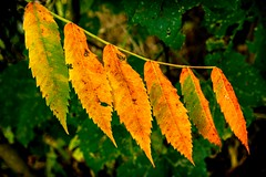 Summer ends leaf by leaf (FotoFloridian) Tags: leaf autumn nature forest yellow season tree outdoors plant october backgrounds orangecolor multicolored vibrantcolor beautyinnature closeup greencolor lushfoliage branch colors sony alpha a6000 sommacomaggiore