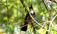 Red-whiskered bulbul - Silent Valley NP (forest venkat) Tags: bird tree snake frog god love moutain hill hike forest animal follage foliage free fly sky rain live life boy gorl babe baby boost black green greetree grass grassland innland inn land city village hikeing india tamilnadu kerala madras new girl book fool fling feel bambu canada usa ussr ny russia yack bull river lake water steam photo pic light cat limestone ice icebreaker good bulbul owl mumbai northeast england iceland flying macro