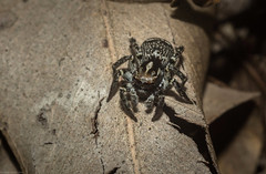 Saitis virgatus (dustaway) Tags: arthropoda arachnida araneae araneomorphae salticidae euophryinae saitis saitisvirgatus stripedsaitis jumpingspider female canungra sequeensland queensland australia spinne araignee natur nature