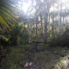 j_holland_1 (Sail.sr5) Tags: select nature trees fgcu florida woods swfl conservation area fwc hurricane irma post photography palm tree oak trail