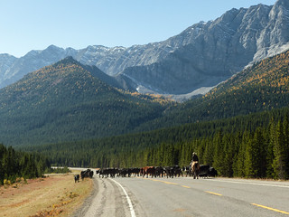 Cattle drive in the mountains