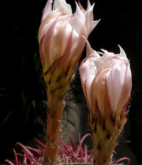 Echinopsis eyriesii (nolehace) Tags: summer nolehace sanfrancisco fz1000 917 flower bloom plant succulent cactus echinopsis eyriesii