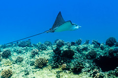 Spotted Eagle Ray || Oahu (David Marriott - Sydney) Tags: honolulu hawaii unitedstates us scuba dive diving underwater ikelite spotted eagle ray fish oahu island