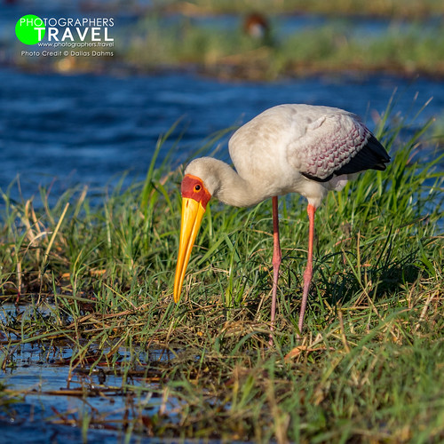 Yellow-billed Stork - Chobe 2014