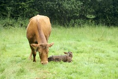 Photo of Minutes-old calf and mother