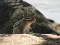 "Canandaigua Chipmunk August 2017 ""My nose itches."" (ianulimac) Tags: chipmunk rodent animal canandaigua lake teats snouts ears fur stripes fluffy gathering"
