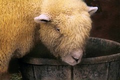 Lunch Is Now Being Served (Christina's World-) Tags: sheep texture countyfair food rustic nature farm fur h