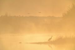 Foggy Sunrise_48755-.jpg (Mully410 * Images) Tags: burnettcounty birding sunrise sandhillcranes crexmeadows birds nikon birdsinflight birdwatching d4 bird crane fog duck crexmeadowsstatewildlifearea waterfowl wisconsin