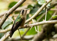 IMG_2674  Speckled Hummingbird (ashahmtl) Tags: speckledhummingbird bird hummingbird adelomyiamelanogenys baeza napoprovince ecuador