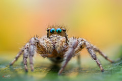 jumping spider (Le Anh The) Tags: eye blue orange color background spider jumpingspider portrait macro macrophotography reverse extreme flash flashdiffuser canon iso 7d explore extensiontube insect diffuser