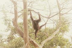 gimme shelter (timsnell) Tags: kinabatangan sabah malaysia my animal ape asia borneo kinabatanganriver leaves monkey orangutan tree trees