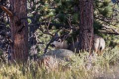 IMG_2492 mule deer bucks ! (starc283) Tags: starc283 nature naturesfinest wildlife muledeer buck canon canon7d colorado