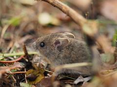 junge Hausmaus (nirak68) Tags: lübeck 2017ckarinslinsede herbst omd5mii mft maus mouse fauna hausmaus jungtier musmusculus schleswigholsteinlübeck de 7dwf