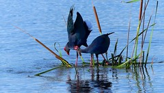 Purple Swamphen - courtship display (forest venkat) Tags: water bird wood wetland mashland swamp swamphen moorhen purpleswamphen waterbird shorebird kingfisher beeeater pipit lark wagtail weaverbird duck shrike swallow swift martin phylloscopus heron finch sparrow bunting bulbul sunbird chat thrush flamingos bushchat minivet woodshrike hornbill hummingbird shikra dove pigeon woodpecker cuckoos crow babbler tern gull drongo laughingthrush crane flycatcher robin myna starling treecreeper nuthatcher flowerpecker pelican egret fisheagle kestrel wildlife accipiter osprey eagle raptor falcon harrier prey hawk vulture birdofprey aquila landscape sceneries river