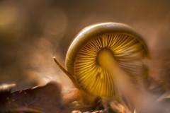 Welcome to the golden hour :the golden mushroom . (look to see) Tags: gold goud mushroom paddenstoel goldenhour bokeh vintagelens minolta rokkor minoltarokkor40mmf17 lensconversion rangefinderlens mariahof beek bree belgium 2017 herfst fall