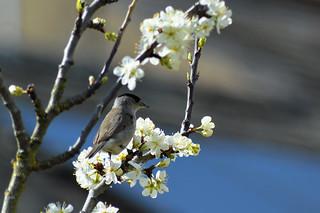 Blackcap and plum blossom