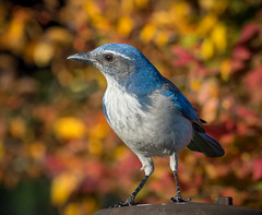 Autumn Bokeh. (Omygodtom) Tags: abstract autumn fall bokeh contrast colorful composition bird scrubjay natural nikkor 7dwf flora flickr wildlife wild nature nikon blue pose d7100 dof nikon70300mmvrlens leica lego legs portrait