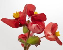 rosso (gigiochef) Tags: macro fiori rosa lavanda rosso fiorellini