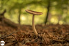 The lonely one (Frankhuizen Photography) Tags: the lonely one rheden netherlands 2017 veluwezoom natuurmonumenten posbank nederland nature natuur fotografie photography frankhuizen mushroom outdoor depthoffield pilze paddenstoel autumn herfst micro macro landscape landschap dof grass wood forest guelders gelderland