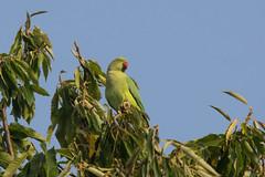 Ring-necked parakeet (gillian.pullinger) Tags: parakeet ringnecked wildlife richmondpark