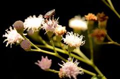 Baccharis dracunculifolia DC.- Asteraceae (robertoguerra10) Tags: baccharis asteraceae arbusto nordeste agreste brasil