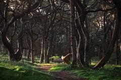 Kiefernwald auf der Schaabe (nordelch61) Tags: mecklenburg vorpommern rügen insel schaabe nehrung halbinsel wittow jasmund wald kiefernwald moosboden todholz grün gras moos baum