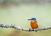 Kingfisher (576 of 677) (graemecave) Tags: kingfisher canon canon5dmk111 bird birds fish colours canontest 100400l leeds yorkshire england blue exposure green mk111 uk portrait river water exposur zz