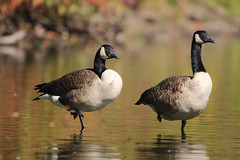 Canada Geese (2 of a kind/ 7DWF) (DS ONE) Tags: 7dwf 2 of a kind