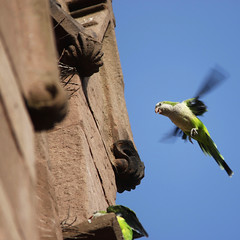 Wild monk parakeets of Green-Wood Cemetery, Brooklyn (@harryshuldman) Tags: wild parrot monk parakeet brooklyn bird nycbirding nyc greenwood green wood cemetery gothic arch north gate greenwoodcemetery historicgreenwood