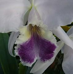 Cattleya labiata f. coerulea (fredcatt) Tags: cattleya orchids coerulea
