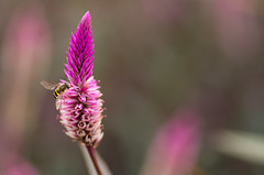 charming (Ginny Williams Photography) Tags: bug wings bokeh macro pink flower nature nikon wing bee yellow eyes flowermacro nc northcarolinaphotographer ncphotographer ncfineartphotographer northcarolinaphotographers printsforpurchase printsforsale ncartists