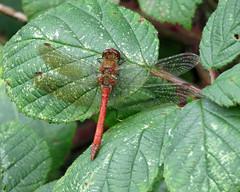 Common Darter - Sympetrum striolatum (erdragonfly) Tags: sympetrumstriolatum