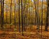 skinny trunks in autumn (-liyen-) Tags: autumn woods forest trees fall colours leaves trunks activeassignmentweekly depth challengeyouwinner cyunanimous