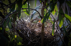 Waiting for mother (dmunro100) Tags: chick baby bird redwattlebird belairnationalpark southaustralia spring newborn eos 80d canon tamronsp150600mmf563divcusdg2a022