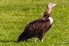 Hooded Vulture (wells117) Tags: 2017 banhamzoo bird clivewells endangered endangeredspecies flying gliding hoodedvulture necrosyrtesmonachus norfolk oct oct2017 vulture wings zoo