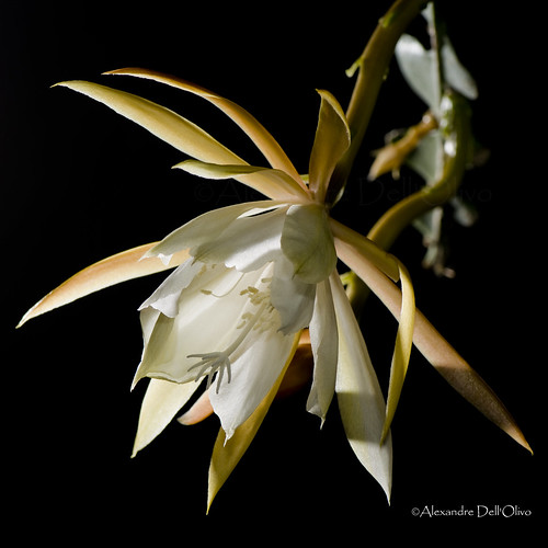 Epiphyllum anguliger_DSC4660