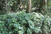 Umbrella Fern (Sticherus flabellatus var. flabellatus) (Poytr) Tags: afp nswrfp qrfp warmtemperatearf coachwood ceratopetalumapetalum ceratopetalum cunoniaceae narrabeen narrabeenlakes middlecreek sydneyrainforest sydneyaustralia umbrellafern sticherus sticherusflabellatus sticherusflabellatusvarflabellatus gleicheniaceae wakehurstparkway wood forest tree rainforest warmtemperaterainforest shinyfanfern oxfordfalls fern