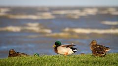 (zedspics) Tags: balaton hungary hongarije magyarország ungarn plattensee nature duck storm beach shore zedspics 1710 169