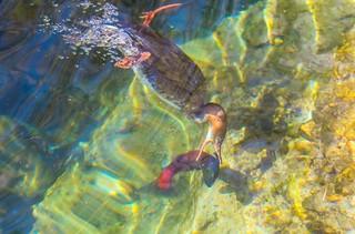 Merganser going for salmon
