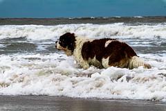 galli cadzand10 (cdandrifosse) Tags: galli saint bernard mer cadzand chien
