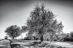 It's not Spring... (Ody on the mount) Tags: abendlicht anlässe bäume em5ii fototour herbst herbstfarben licht mzuiko918 omd olympus pflanzen sonne sonnenuntergang wege bw monochrome sw tübingen badenwürttemberg deutschland de