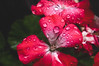 Bloom Drops (jayplorin) Tags: nature flower bloom life plants colorful water drops red magenta