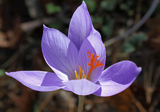 Winter Crocus