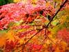 danbo2017_104 (iskandarbaik) Tags: danbo autumn england uk westonbirt arboretum japanese maple