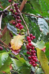 coffee fruits :) (green_lover) Tags: coffea coffee fruits plants tenerife canaryislands spain nature red green 7dwf